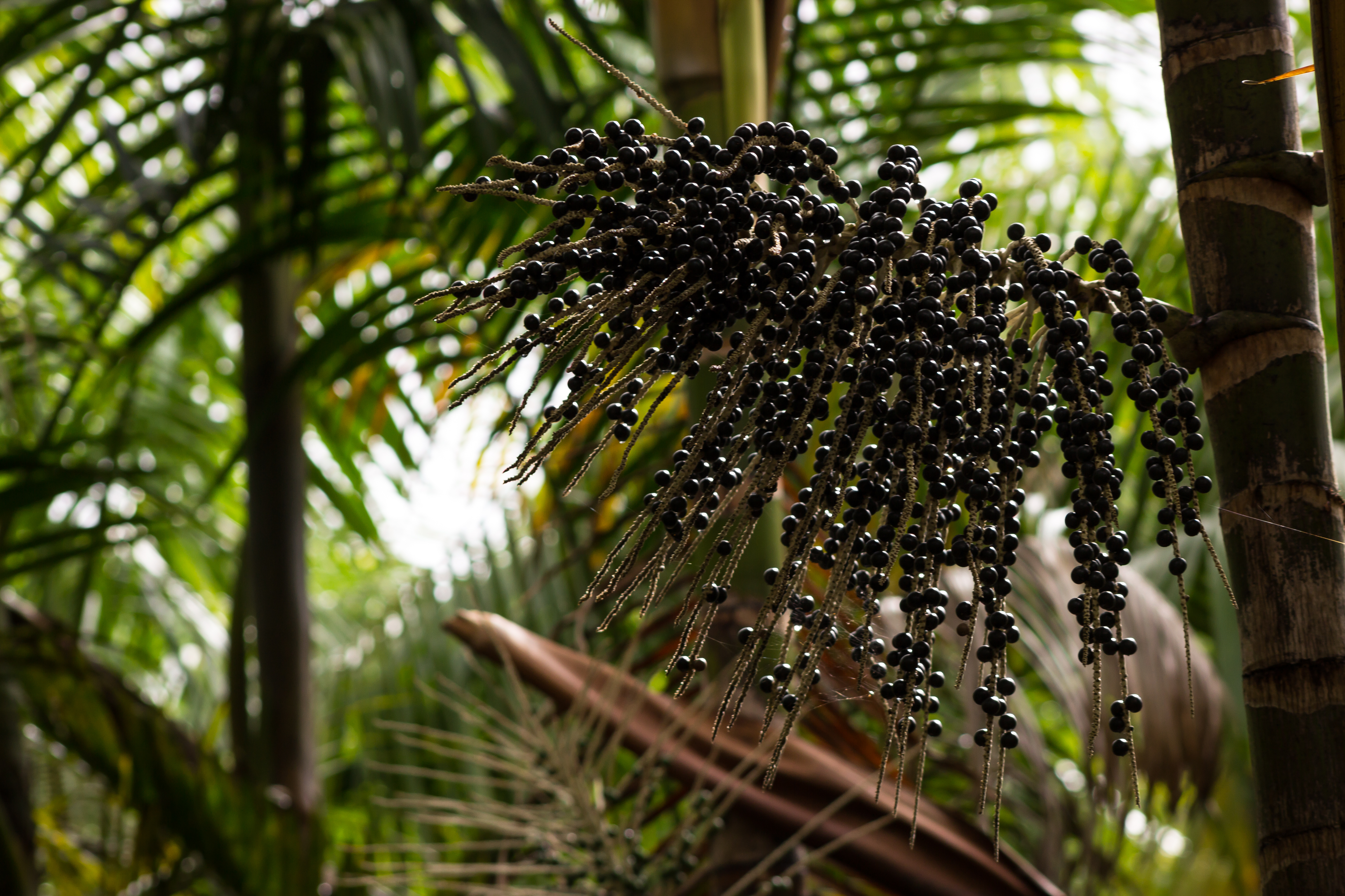 açai cluster and its palm tree, with branches in the background