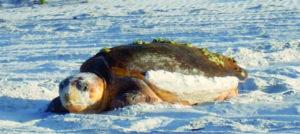 South Walton Turtle Watch