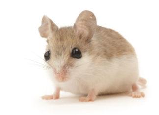 Beach Mouse