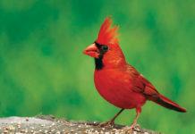 Pastor Cardinal