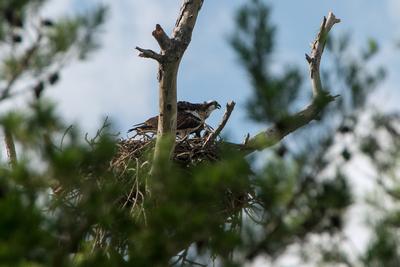 Thpsp Osprey