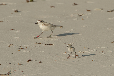 Plover Chick