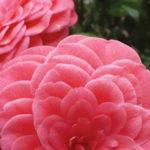 Eden Gardens Camellia