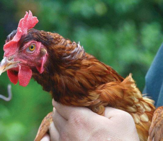 Sentinel Chicken