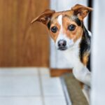 Curious Terrier Looking Around Corner