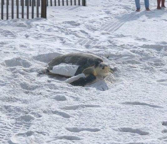 Turtle Nesting Season Featured