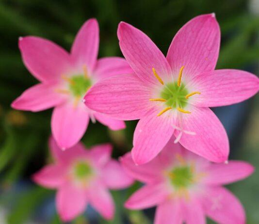Flowers Pinkjpg